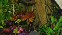 Roter Tigerlotus - Blätter erreichen schon Oberfläche