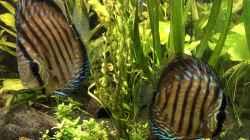 Besatz im Aquarium Panda/Diskus World