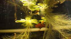 Pflanzen im Aquarium Platy Biotop