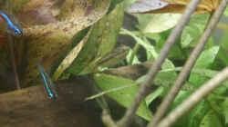 paracheirodon simulans und trichopsis pumila (Weibchen, 4 Monate alt) 02-17-2015