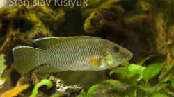 Chromidotilapia kingsleyae