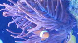 Besatz im Aquarium Riff im Wohnzimmer
