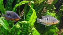 Besatz im Aquarium Amazonas Gesellschaftsbecken