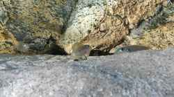 Enantiopus melanogenys `Kilesa`
