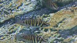Altolamprologus calvus `pearl congo`