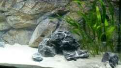 Aquarium Tanganjika Cichlid Family