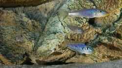 Enantiopus melanogenys `Kilesa`, 2 Männchen und 2 Weibchen (sind im Vergleich zu