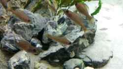Paracyprichromis und Neolamprologus multifasciatus