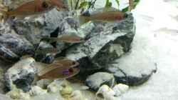 Paracyprichromis und Schneckenbuntbarsche im Hintergrund