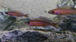 Paracyprichromis nigripinnis blue neon