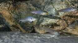 Enantiopus melanogenys `Kilesa`, fast die ganze Gruppe (ein Weibchen fehlt)