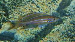 Paracyprichromis nigripinnis `blue neon`