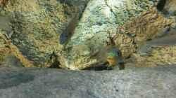 Enantiopus melanogenys `Kilesa`, Drohgebärde