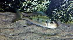 Besatz im Aquarium Tanganjika Cichlid Family
