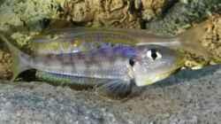 Enantiopus melanogenys `Kilesa`, Drohgebärde von jungem Männchen