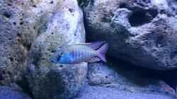Besatz im Aquarium Malawi Übergangszone (Existiert nicht mehr)