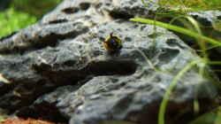 Geweihschnecke gelb/schwarz
