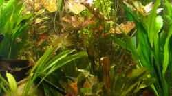Tigerlotus, Amazonasschwertpflanzen, ...