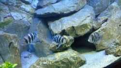 Besatz im Aquarium Tanganjika Tümpel in NRW