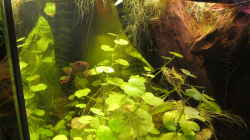 Besatz im Aquarium Channa Bleheri Artenbecken