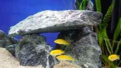 Besatz im Aquarium Malawi Anfänger