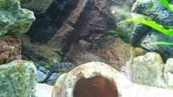Labidochromis Mbamba eine Stunde nach dem Einsetzen