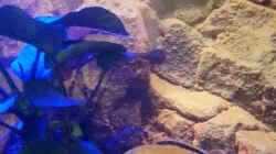 Labidochromis Caeruleus yellow, Männchen und Weibchen