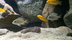 Plac. sp. Jalo Reef + Lab. caeruleus