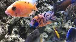 Besatz im Aquarium DARIUS