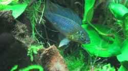Besatz im Aquarium Grünes Juwel