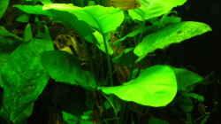 Pflanzen im Aquarium Grünes Juwel