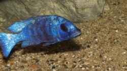 ein Placidochromis phenochilus `Tanzania` über den Bodengrund - der feine bis mittlere