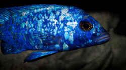 Placidochromis phenochilus Tanzania .. ein aktuelles Bild seiner Färbung!!