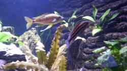 Julidochromis Dickfeldi & `Supernase`