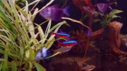 Dekoration im Aquarium Südamerika Gesellschaftsbecken 31372