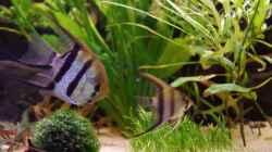 Besatz im Aquarium Südamerika Gesellschaftsbecken 31372