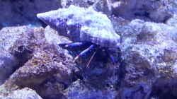 Clibanarius tricolor - Blaubein-Einsiedlerkrebs