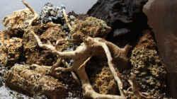 rechte Seite, Mangrowenwurzel, Fingerwurzel und Steine