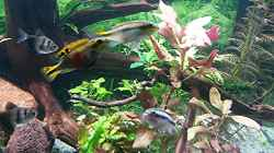 Rosablättriges Papageienblatt (Alternanthera reineckii)