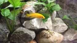 Pflanzen im Aquarium Longior Rocks