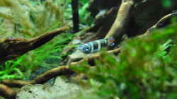 Besatz im Aquarium Das Kleine (Nur noch als Beispiel)