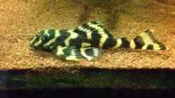 Besatz im Aquarium Kleines Stück Südamerika