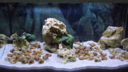 Aquarium Tanganjika Buddelzwerge