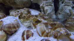 Besatz im Aquarium Tanganjika Buddelzwerge