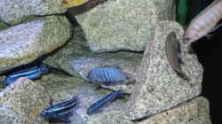 Mainganos, Saulosis, Cobue Weibchen
