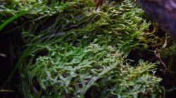 Marchantia polymorpha Brunnenlebermoos