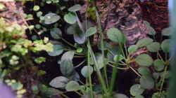Episcia dianthiflora
