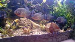 Aquarium Amazonas Becken
