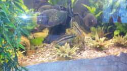 Purpurprachtbuntbarsche, waren eher da als die Piranhas und werden in ruhe gelassen