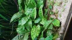 Cryptocoryne pontederifolia